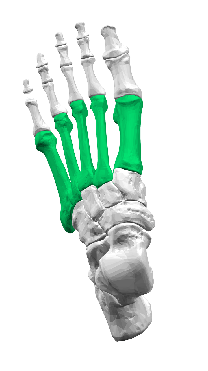 The metatarsal bones in the foot (in green)